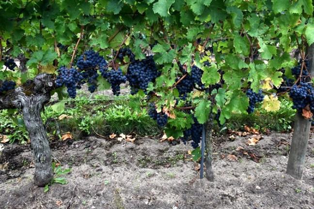 Amirault Vigne